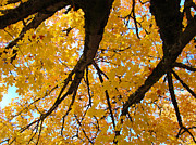 Fall Leaves Photos - Yellow Fall Trees prints Autumn Leaves by Baslee Troutman Fine Art Prints