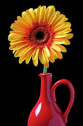 Close Up Floral Prints - Yellow fancy daisy in red vase Print by Garry Gay