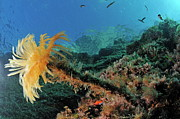 Port Cros Posters - Yellow Feather Duster Worm Poster by Sami Sarkis