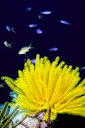 Echinoderm Photos - Yellow Feather Star by Ed Robinson - Printscapes