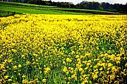 Flowers Photographs Digital Art Prints - Yellow Field Print by Bill Cannon