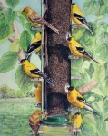 Finch Drawings Prints - Yellow Finches Print by Fay Akers