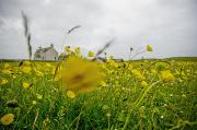 Outer Hebrides Framed Prints - Yellow Flowers On Meadow And Farmhouse Framed Print by Axiom Photographic