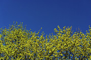 Clear Sky Art - Yellow Flowers Tree by Daniel Kulinski