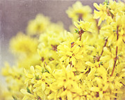 Forsythia Photos - Yellow Forsythia by Lisa Russo