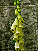 Foxglove Flowers Photos - Yellow Foxglove Flowers by Debra     Vatalaro