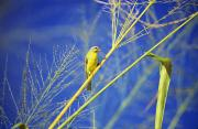 Canary Yellow Prints - Yellow Fronted Canary Print by Bob Abraham - Printscapes