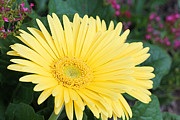 Yellow Gerbera Print by Becky Lodes
