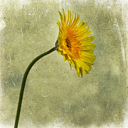 Oldfashioned Posters - Yellow Gerbera Poster by Bernard Jaubert