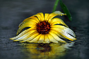 Downpour Posters - Yellow Gerbera Daisy In Downpour Poster by Tracie Kaska