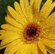 Floral Art Photos - Yellow Gerbera by Suzanne Gaff