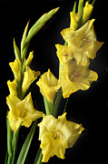 Gladiolus Photos - Yellow Gladiolus by Terence Davis