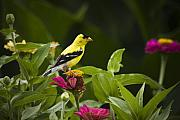 Goldfinch Prints - Yellow Goldfinch Print by Chad Davis