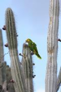 Amazon Parrot Prints - Yellow-headed Amazon Parrot, Amazona Print by George Grall
