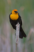 Black Bird Prints - Yellow-headed Blackbird Print by Katie LaSalle-Lowery