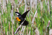 2012 Nbc Weather Calendar Framed Prints - Yellow-headed Blackbird ready for take-off Framed Print by Merle Ann Loman
