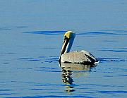 Pelican Originals - Yellow Headed Pelican by Michael Thomas