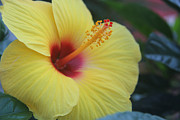 Photography - Yellow Hibiscus by Debra Martelli