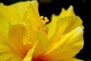 Diana Haronis - Yellow Hibiscus