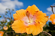 Flower Photos - Yellow Hibiscus by Michael Yeager