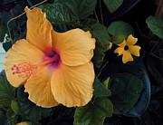 TONY GRIDER - Yellow Hibiscus Raindrops