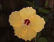 TONY GRIDER - Yellow Hibiscus