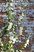 Gloucestershire Prints - Yellow Hollyhock Print by Mark Bolton