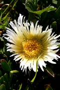 Floral Photographs Prints - Yellow Ice Plant Flower . carpobrotus edulis succulent . 7D15078 Print by Wingsdomain Art and Photography