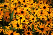 Black Eye Susan Prints - Yellow in Bulk Print by Emily Stauring