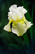 Yellow Bearded Iris Posters - Yellow Iris Poster by Susan Isakson