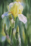 Irises Art - Yellow Iris with Buds by Sharon Freeman