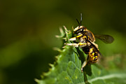 Biting Posters - Yellow Jacket Wasp Poster by  Onyonet  Photo Studios