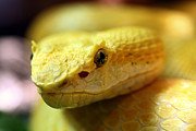 Venomous Photos - Yellow by JC Findley