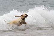 Water Retrieve Posters - Yellow Lab Ocean Fetch Poster by Renae Frankz