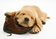 Sleeping Dog Posters - Yellow Lab Pup And Shoe Poster by Jane Burton