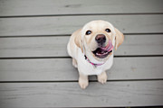 Looking At Camera Posters - Yellow Lab Puppy Poster by Image by Erin Vey