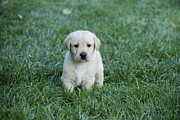 Lab Puppy Posters - Yellow Lab Puppy Poster by Jill Schmidt