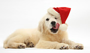Father Christmas Prints - Yellow Lab Retriever Pup Print by Mark Taylor
