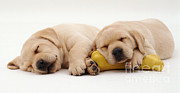 Sleeping Dog Posters - Yellow Labrador Puppies Poster by Jane Burton