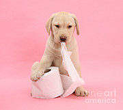 Toilet Paper Framed Prints - Yellow Labrador Puppy With Toilet Paper Framed Print by Mark Taylor