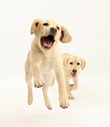 Old Labrador Posters - Yellow Labrador Pups Leaping And Running Poster by Mark Taylor