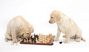 Board Games Posters - Yellow Labrador Retriever Pups Playing Poster by Mark Taylor