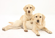 Labrador Retrievers Posters - Yellow Labrador Retrievers Poster by Mark Taylor