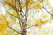 Golden Leaves.beauty Prints - Yellow Lace of the Birch Foliage  Print by Jenny Rainbow