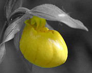 Orchids Digital Art - Yellow Lady Slipper Partial by Smilin Eyes  Treasures
