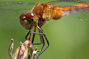 Cobble Stones Posters - Yellow-Legged Meadowhawk Dragonfly Poster by Juergen Roth