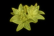 Fractalius Framed Prints - Yellow Lilies on Black Framed Print by Sandy Keeton