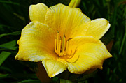 Sandi OReilly - Yellow Lily 2