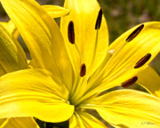 Christopher Holmes - Yellow Lily