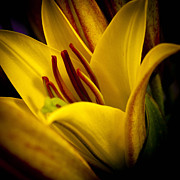 Anthers Prints - Yellow Lily Print by David Patterson